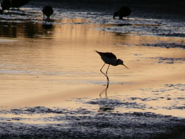 Wading at dawn